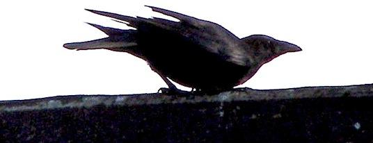 birdonwallsmall_by_erix